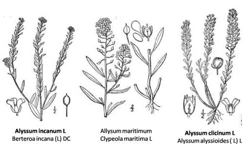 Alyssum species