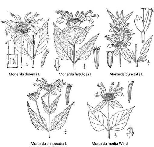 Monarda - 5 species