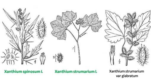 Xanthium