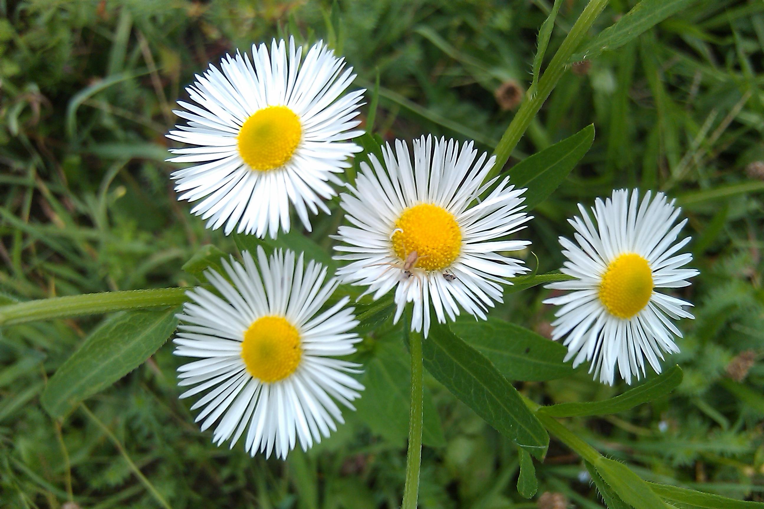 asters  brian altonen, mph, ms, Beautiful flower