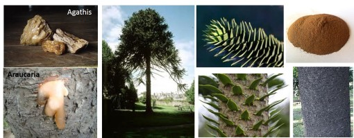 araucaria-with-agathis-for-comparison