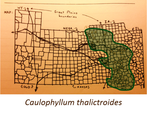 Caullophylum-thalictroides_v2