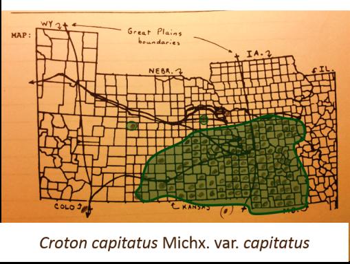 Croton-capitatus-Michx-var-capitatus_WoolyCroton_v2