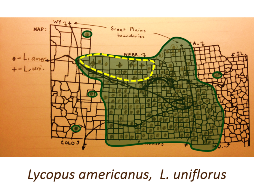 Lycopus-americanus_L-uniflorus_Bugleweeds_v2