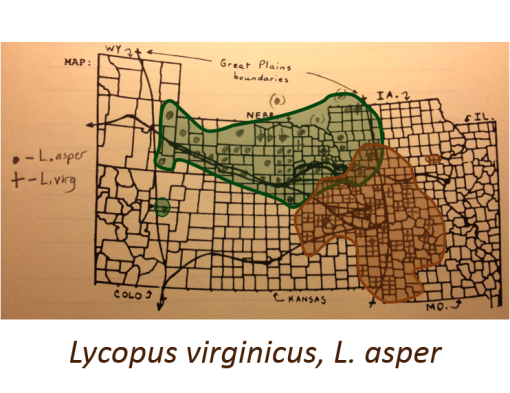 Lycopus-asper_L-virginicus_Bugleweeds_v2