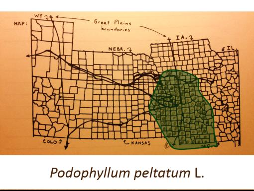 Podophyllum-peltatum_Mayapple_v2