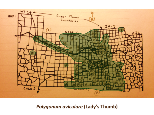Polygonum-aviculare_v2.jpg