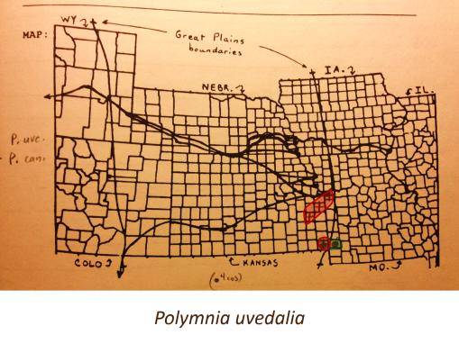 Polymnia-uvedalia_v2